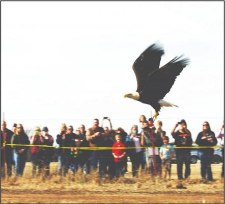THE IOWA Nation has released more than 30 rehabilitated eagles to the wild since 2006. (Photo provided by Grey Snow Eagle House)